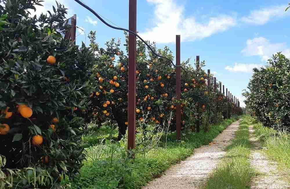 Agrumeti arancia di Ribera Dop Le Vie della Zagara
