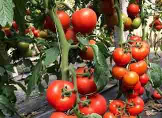 Pomodori in serra, foto del Distretto del cibo sud est siciliano